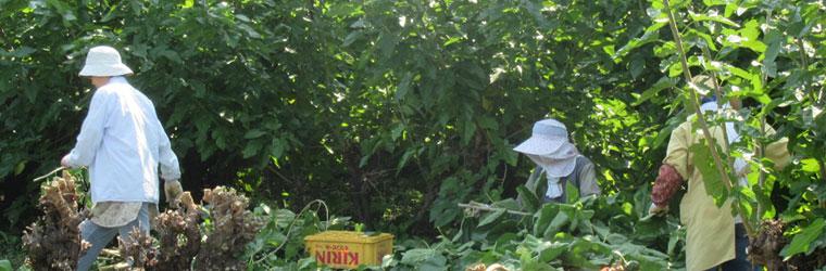 桑の葉収穫のイメージ画像